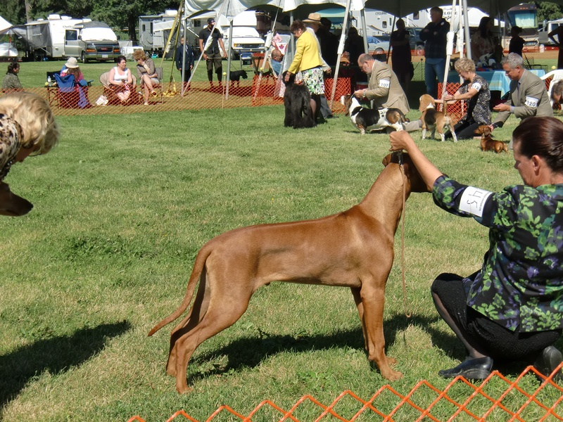 Koda         Koda Stack at 6 months old at show in Vernon