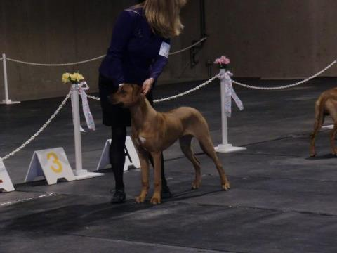 K-Tai Reflection of Thornberry aka Hunter-won class, reserve winners dog and best puppy in breed